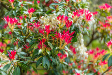 The Young Leaves Of A Pieris J...