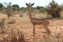 Gazelle-Tsavo National Park