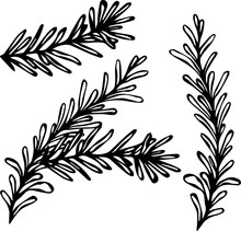 Fresh Rosemary Sprigs With Leaves. Food And Spice Vector Illustration
