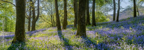 Beautiful spring panorama in a woodland forest with Bluebell carpet in foreground.