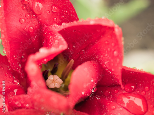 Petals red flower with water drops on bright background #153968369