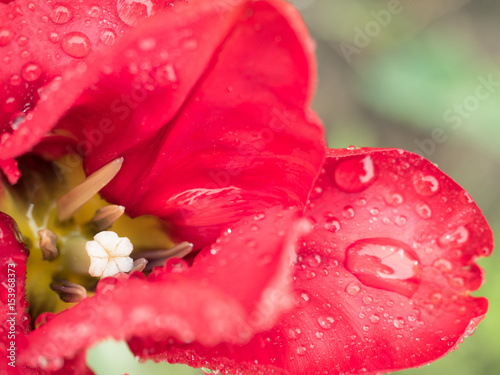 Petals red flower with water drops on bright background #153968373