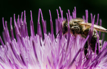 Macro Shot Of A Bee On A Thistle Flower