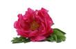 canvas print picture - pinkfarbene Pfingstrose auf weissem Hintergrund