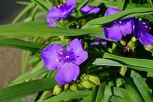 Purple Blue Spiderwort Tradescantia Flowers (trillium)