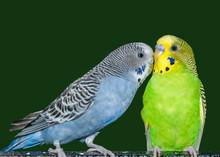 Portrait Of Two Parakeets Kiss...