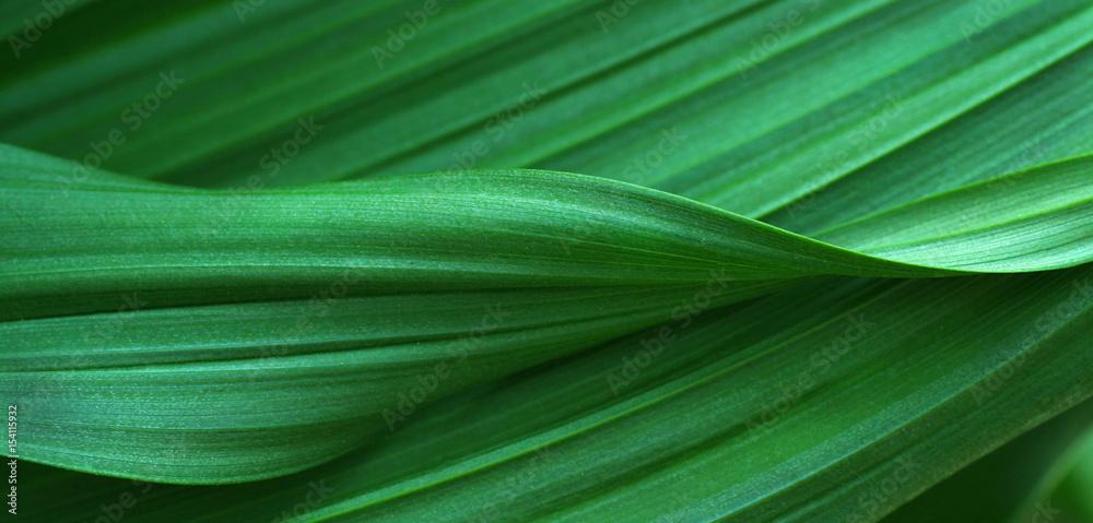 Fototapeta Green leaves for background