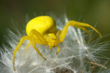 Spider Flower (Misumena Vatia)