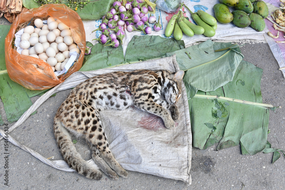 Dead tiger in asia black market that trade wild animal  with money.