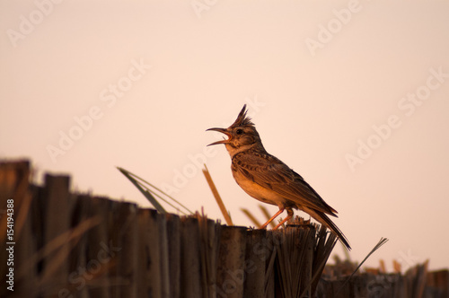 Valokuva crested lark singing perched on fence of palm leafes