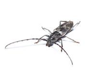 Aeolesthes Sarta Beetle Isolated On White Background.