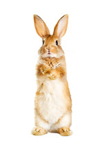 Rabbit Is Standing On Its Hind...