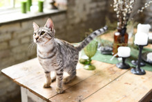 Cute Savanna Kitten In Silver Color On A Vintage Table