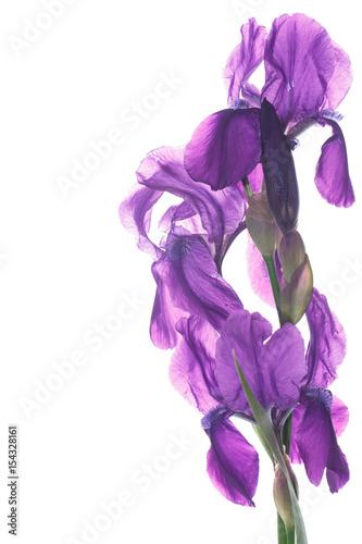Spoed Foto op Canvas Iris beautiful dark purple iris flower