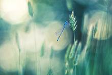 Blue Dragonfly On The Grass. B...