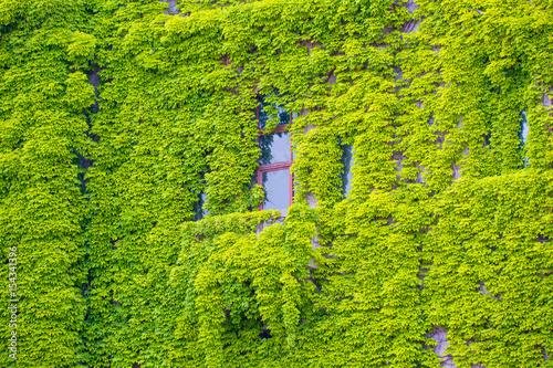 okno-pokryte-zielonymi-liscmi-na-scianie-zielonym-bluszczem-i-rama-okna