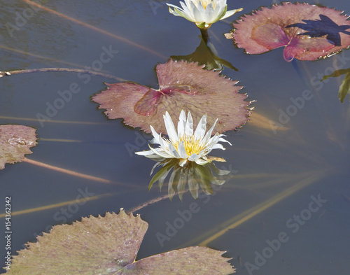 Deurstickers Waterlelies white water lily at Selby Botanical Gardens