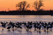Sandhill Cranes On The Platte River - Silouette At Sunset