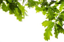 Background Of Oak Leaves On White Isolated Background