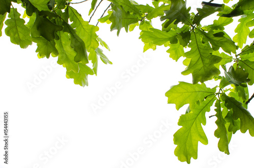 Fotografía  Background of oak leaves on white isolated background