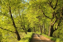 Dirt Road Between The Spring Trees