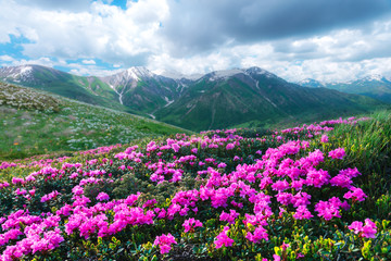 Fototapeta Amazing pink rhododendron flowers