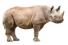 African White Rhinoceros