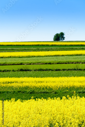 Poster de jardin Jaune Canola or colza or rape cultivation field with blue sky