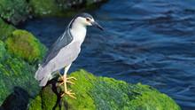 A Black-crowned Night-heron Fi...