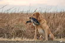 Labrador Retriever With Mallar...