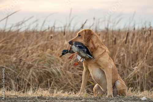 Valokuva  Labrador Retriever with Mallard Duck