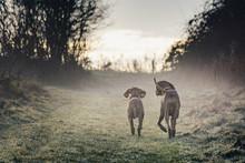 Two Vizsla Dogs Walking Along ...