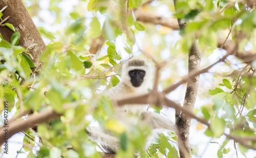Fényképezés Vervet Monkey (Chlorocebus pygerythrus) in Tree in Northern Tanzania