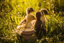 Group Of Ducklings Walking In ...