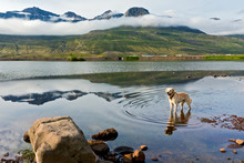 Dog In A Lake Reflected In The...