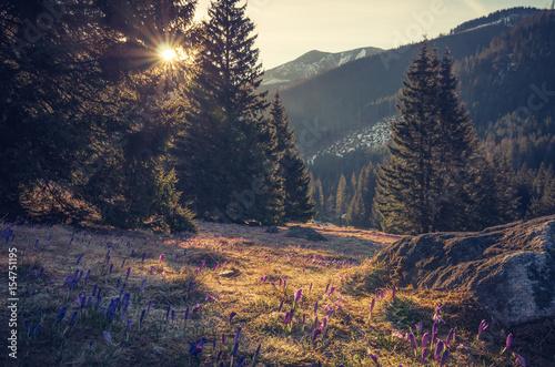 Foto auf Gartenposter Gebirge Tatra mountains, Poland, crocuses in Chocholowska valley, spring