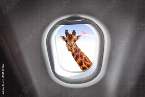 Fényképezés  Giraffe looking through a plane's window