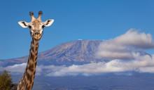 Portrait Of Giraffe Head Against Kilimanjaro Mount