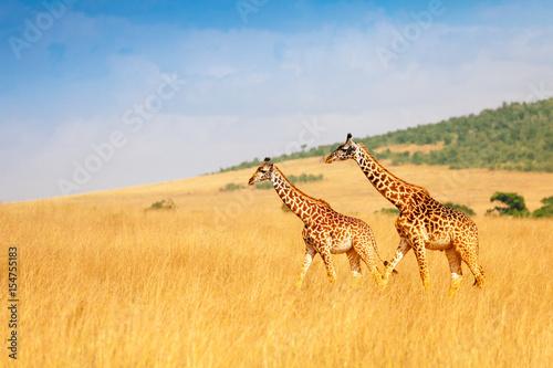 Masai giraffes walking together in Kenyan savanna Canvas Print