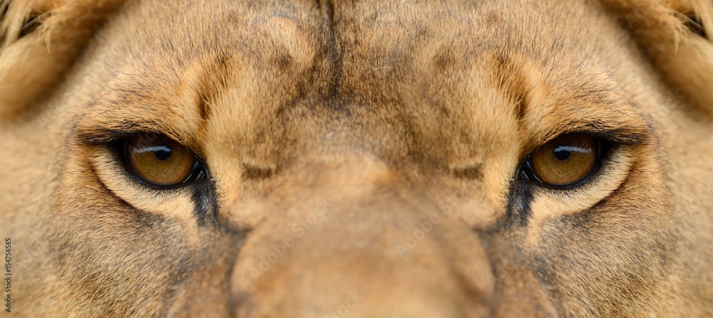 Close lion portrait
