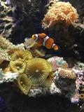 Fototapeta Do akwarium - Błazenek na tle rafy koralowej