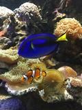 Fototapeta Do akwarium - Błazenek i Pokolec królewski w akwarium