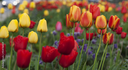 Montage in der Fensternische Tulpen Spring tulipans background
