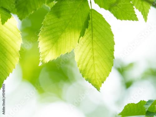 Fototapeta 新緑の葉 obraz na płótnie