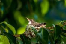 Baby Hummingbird Still In The ...