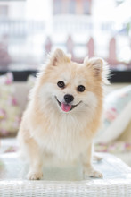 Small Pomeranian Puppy Dog Standing On A White Table.