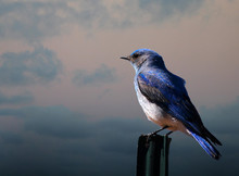Mountain Bluebird On A Fence Post
