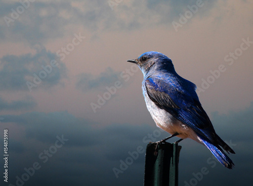 Fényképezés Mountain Bluebird on a Fence Post