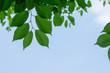 新緑の葉と空