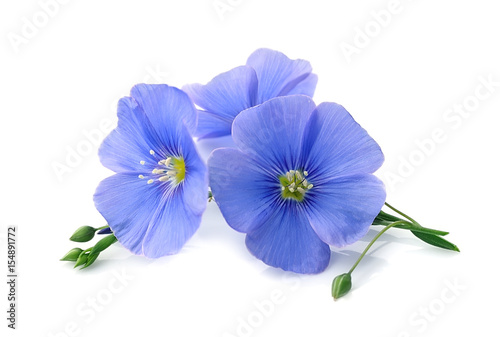 Flax blue flowers .